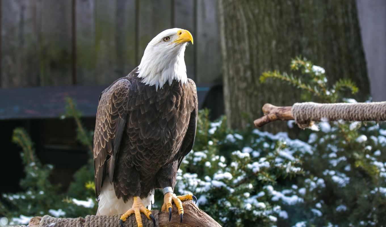 орлан, птица, клюв, лысый, хищник, preview, legs, birds,