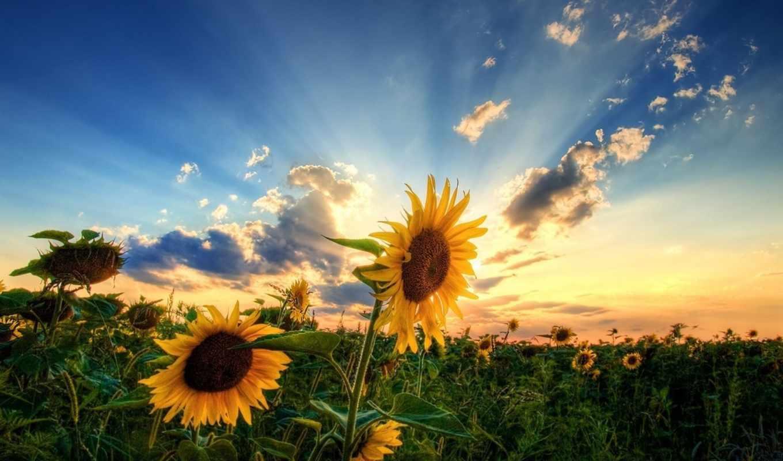 подсолнухи, поле, небо, sun, природа, красиво, summer, pictures, pin,