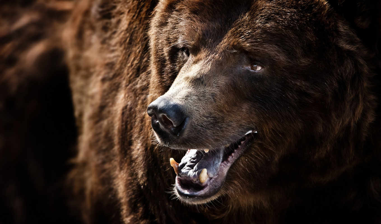 grizzly, медведь, медведя, зверь, улыбка, zhivotnye, морда, william, медведей,