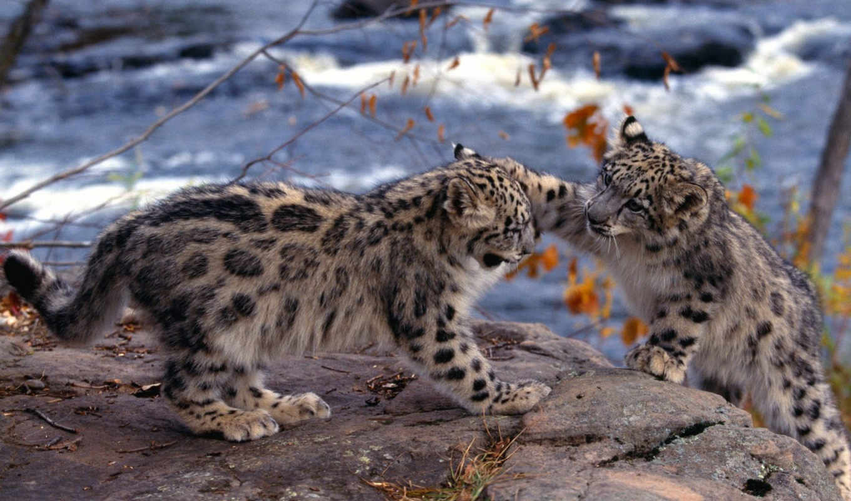 барса, котята, лапы, барсов, морды, шерсть, снежного, женский, леопард, снег, ирбис,