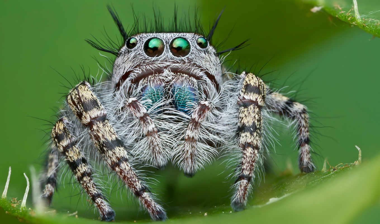 обои, паук, spider, пауки, прыгун, джапер, live, w