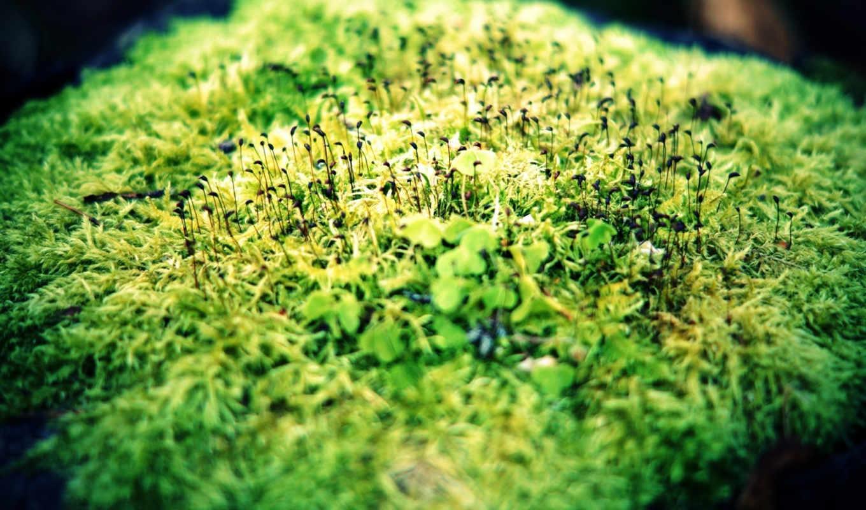 зелень, макро, ростки, мох,