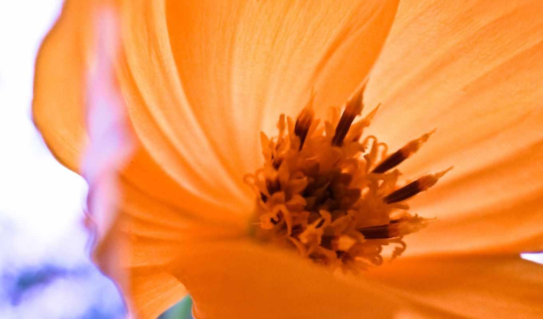 flower, розовый, картинка, растения,