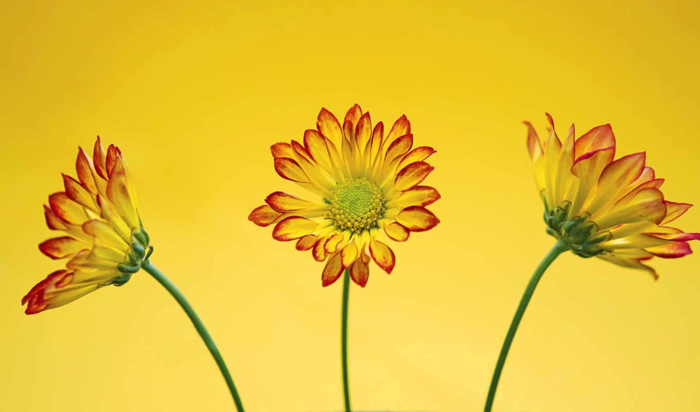 фон, yellow, desktop, изображение, рома, this, flowers, качество, вектор, free,