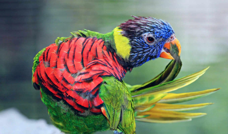 tapeta, telefon, kolorowa, птиц, папуги, птицы, попугай, янв,