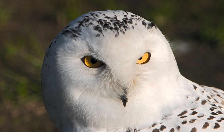 сова, белая, полярная, крестом, вышивка, филин, схема, вышивки, птицы,