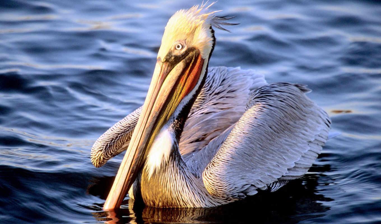 pelican, животных, красивые, подборка, девушек, дек, красивых, this, животные, world,