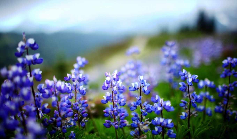 цветы, растение, листья, зелёный, нов, люпин,
