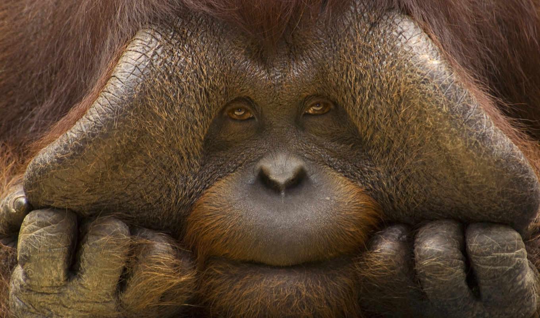 обезьяна, орангутан, обезьяны, zhivotnye, морда,