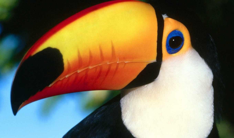 toucan, птицы, птица, zhivotnye,