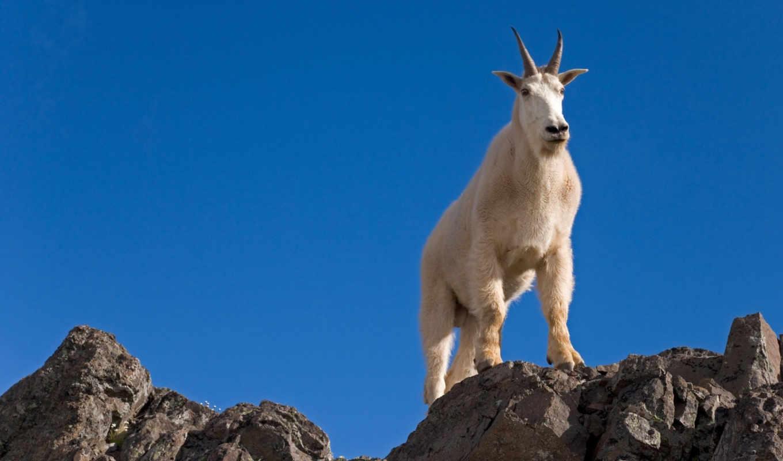 goat, male, rocks, кто, животные, тот, ты, мира, вершине, mountain, источники, kozli,