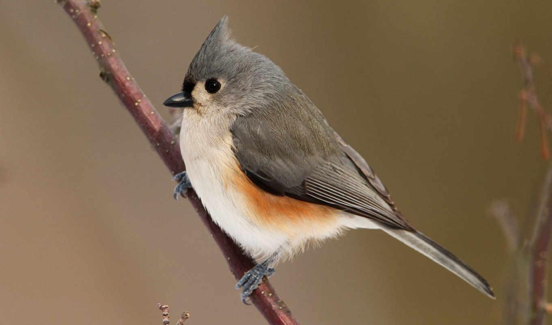bird, desktop, tufted, titmouse, photos, птицы, free, ветке, фв, users, click, photography,