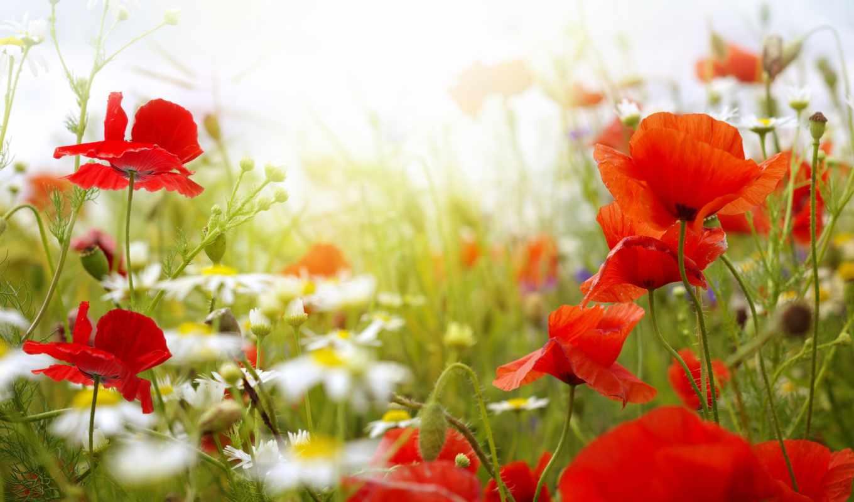 summer, маки, цветы, ромашки,