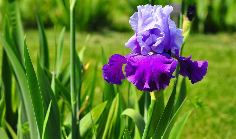 ,цветы, ирисы, хризантемы,