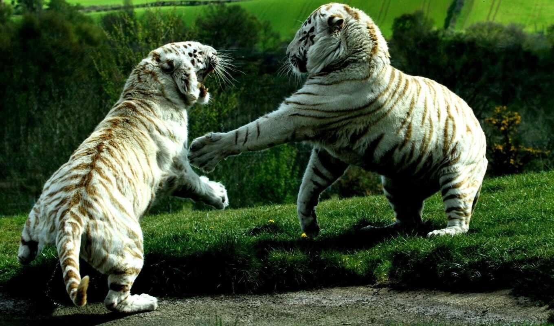тигр, white, бой, baby, два