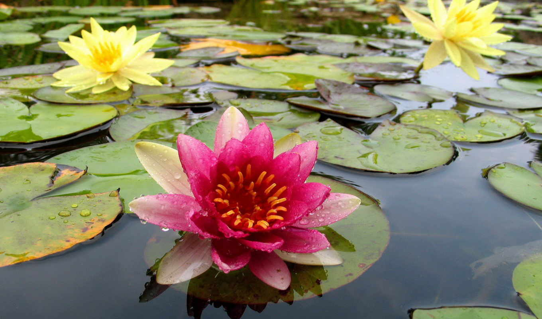 wallpaper, water, цветы, hd, pond, lily, desktop, wallpapers, lilies, пруду, природа, растения, кувшинки, вода, картинку, картинка,