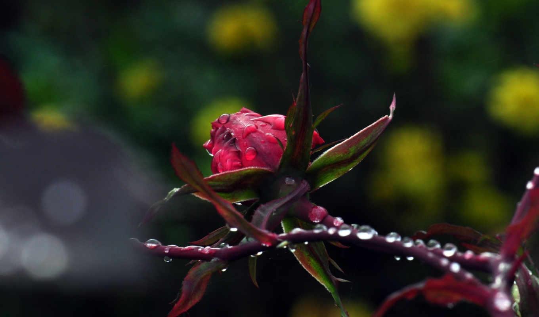 макро, цветы, природа, роза, растения, капли,,