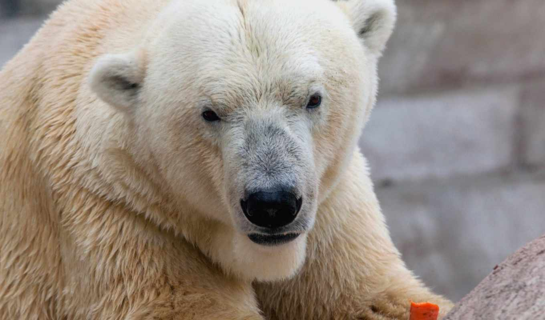 медведь, морда, white, this, хищник,