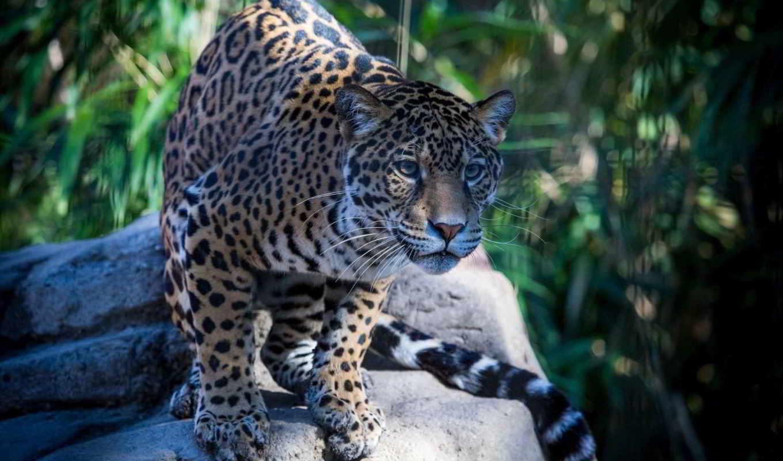 jaguar, кот, дикая, хищник, морда,