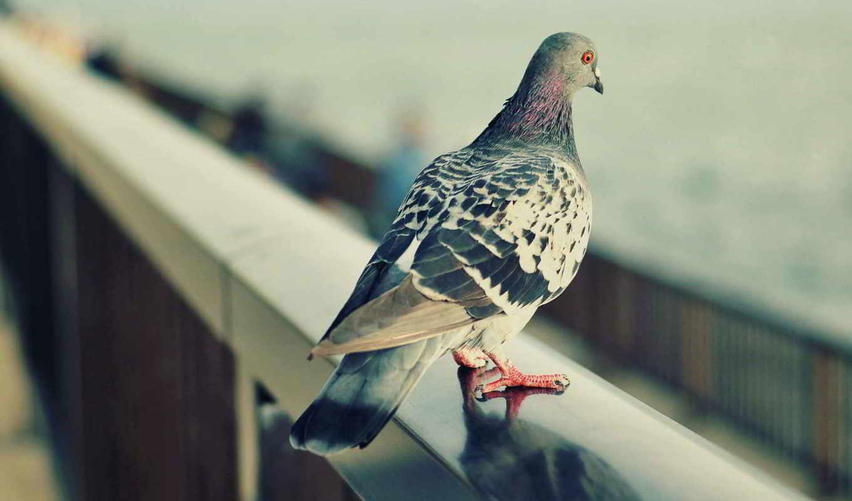 голубь, птицы, дек, попугаи, голуби, branch, детей,