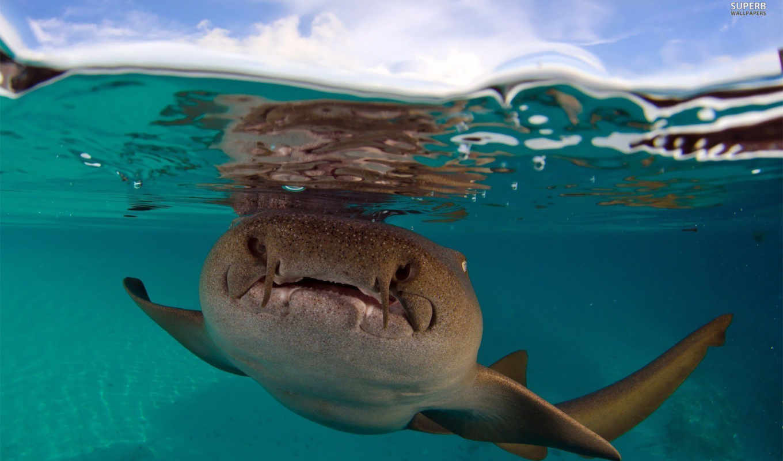 акула, sharks, медсестра, you, desktop, swimming,