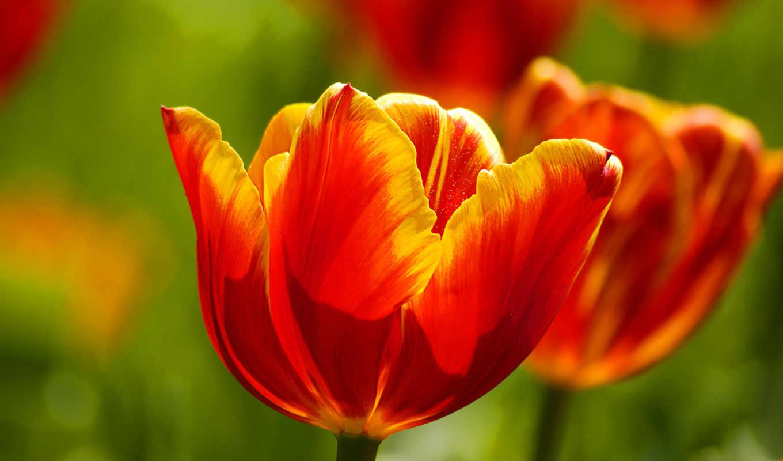 ecran, fonds, tulipes, tulipe, fleurs, belles, images, belle,