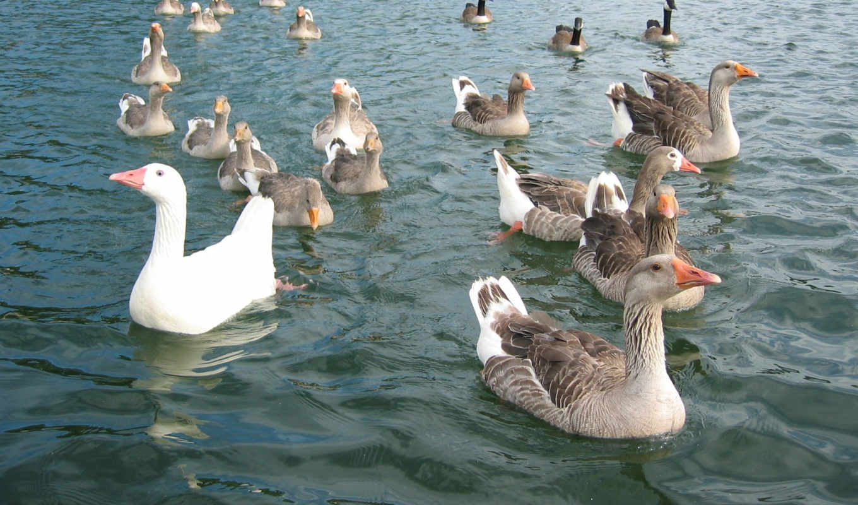 views, птица, meat, продам, воде, продолжительность, goose, гуси, гусей, asp,