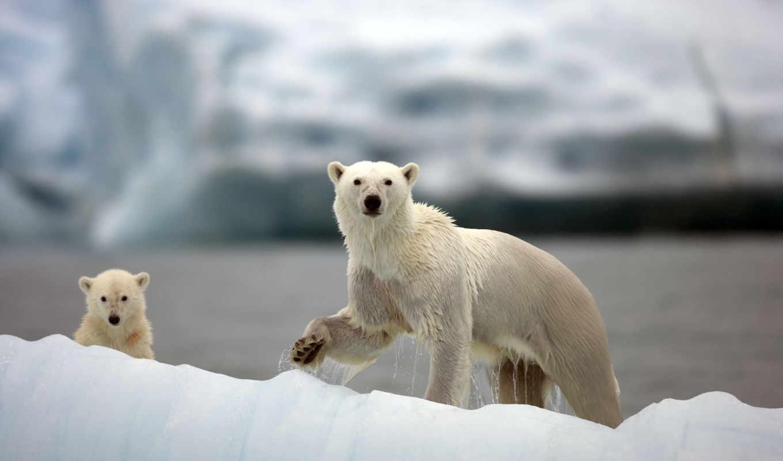 медведи, polar, bears, white, медведь, белые, zhivotnye, красивые, facts,