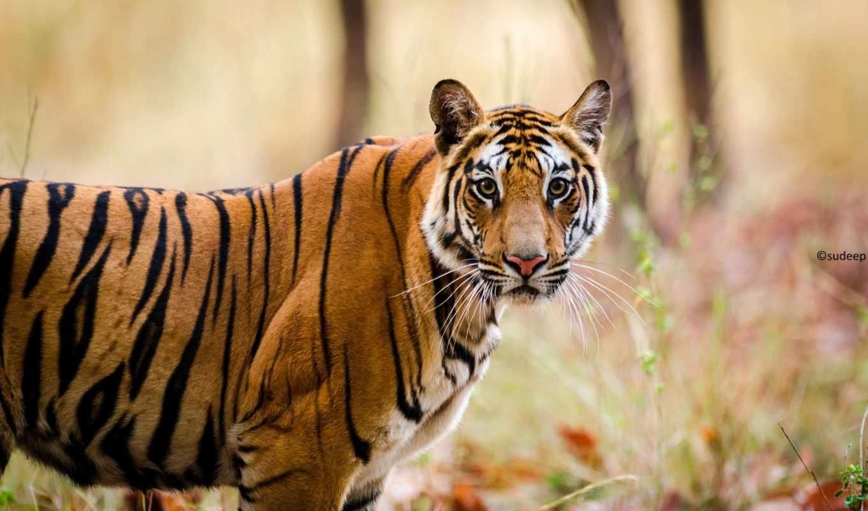 тигр, тигр, кошка, кот, бенгальский, июня,