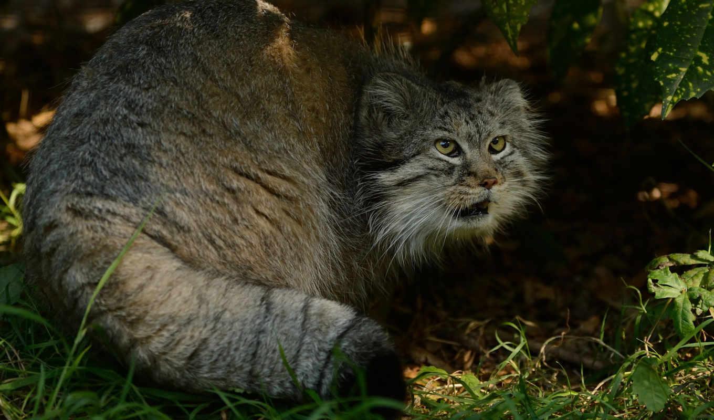 манул, янв, кот, similar, размеру, wild, browse, только, ложь, трава,