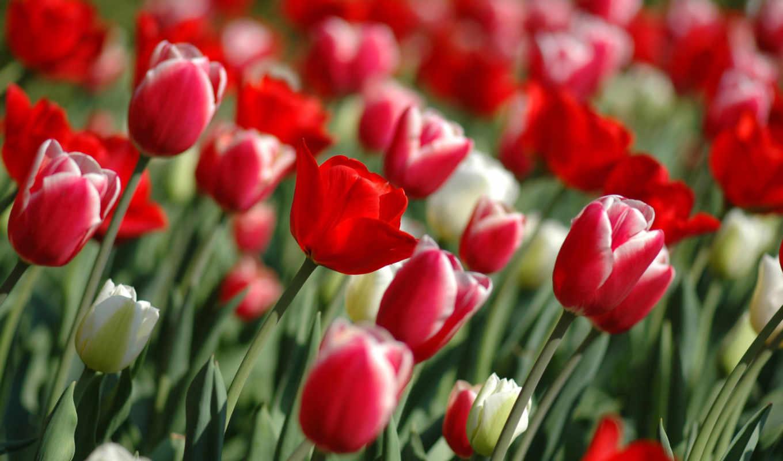 цветы, разрешения, тюльпаны, possible, высокого, под, страница,