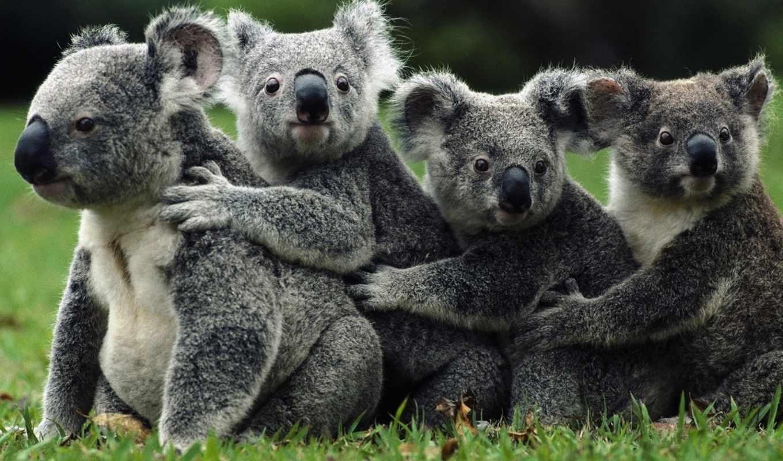 коалы, коала, семья, zhivotnye, толпа, wild,