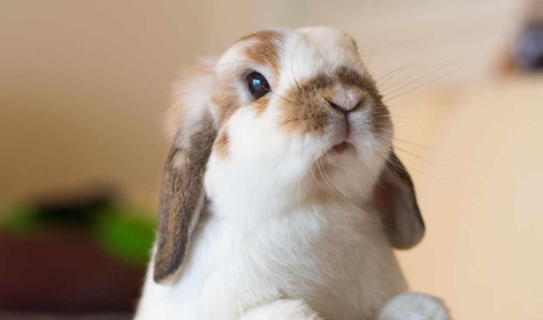 bunnies, ideas, об, bunny, lop, pinterest, ди, ariete, holland,