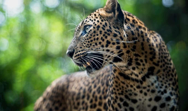уже, hinata, страница, загружено, лучшая, леопард, леопарды, коллекция,