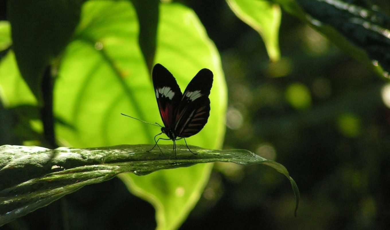 бабочка, насекомое, листик, картинка, desktop, natura, бабочки, makro, тени, смотрите,