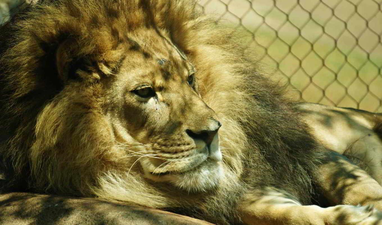 lion, zoo, морда,