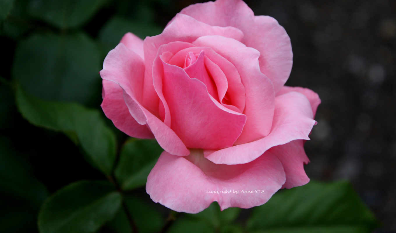 блики, лепестки, роза,