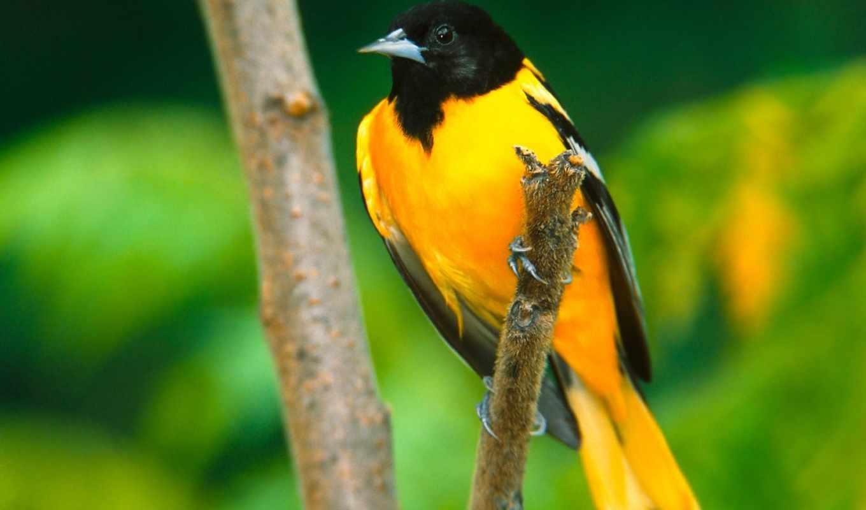 птичка, желтая, zhivotnye, очень, птицы, красивые, цветов, множеством,