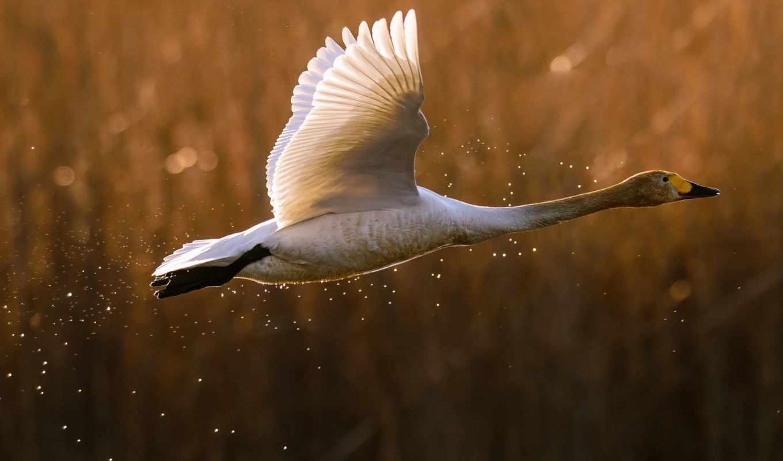 полет, утка, птица, брызги, goose, лебедь, white,
