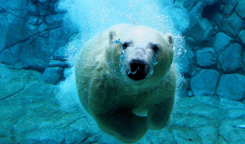 медведь, polar, zhivotnye, красивые, white, медведей, белых, снимки, животных, water, воде,