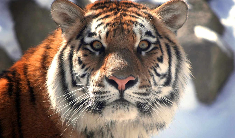 тигр, морда, тигра, amur, royalty, zhivotnye, фри, кот,