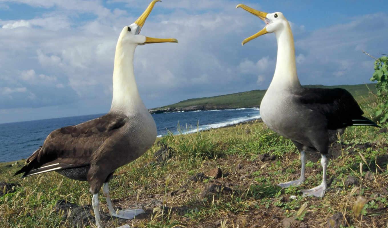 albatross, waved, albatros, los, туры, видов, las, tamaño, son,