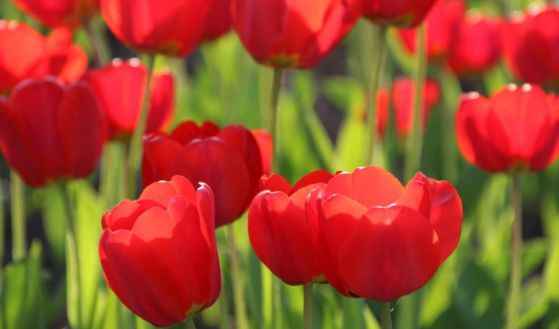 цветы, тюльпан, букет, весна, роза, природа, устройство, красное, сиреневый
