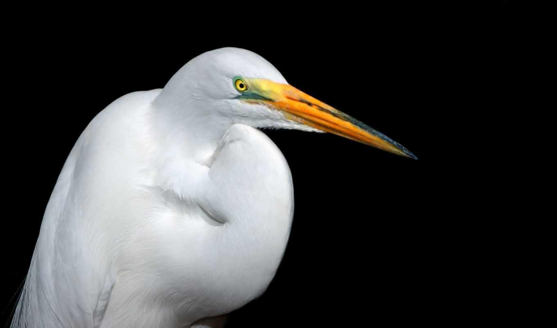 wallpapers, white, bird, wallpaper, free, heron, цапля, egret, картинка, desktop,