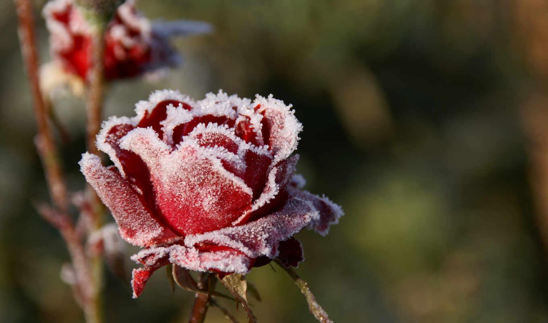 иней, холод, розы, rose, frozen, картинка, природа, snow, flower, картинку, iced,