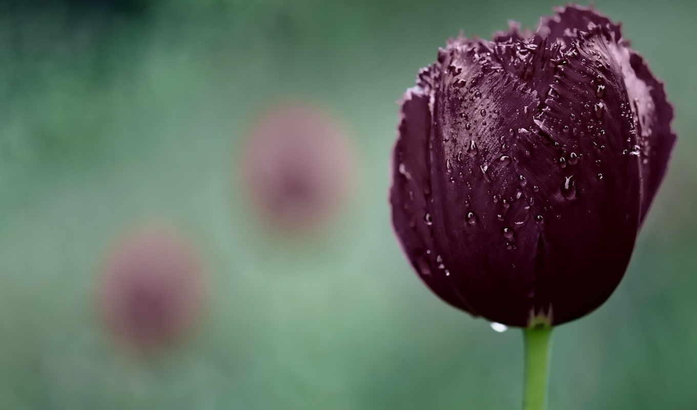 purple, тюльпан, dark, цветы, капли, природа,