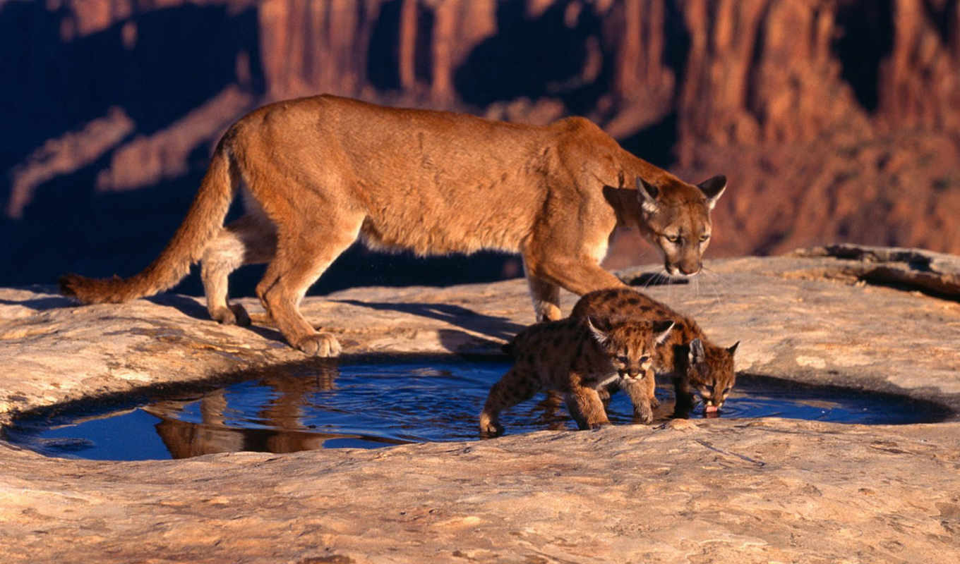 cat, free, animals, thirsty, cubs, angry, big, cougar, cougars, canyon, pumas, description, best, animal, puma, download, widescreen, source, downloading, thanks, resolution,