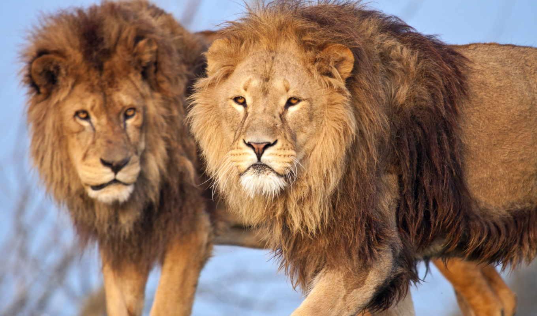 lion, грива, кот, трава,