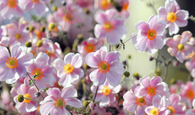 цветы, природа, summer, ромашки,