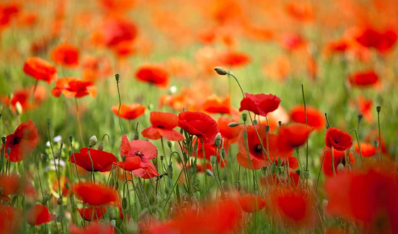 маки, цветы, весна, лепестки, природа,